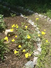 Photo: Yarrow: Achillea millefolium