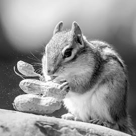Chipmunk with peanuts by Debbie Quick - Black & White Animals ( debbie quick, nature, adirondacks, peanuts, debs creative images, new york, outdoors, mammal, ticonderoga, chipmunk, rodent, animal, black and white, wild, wildlife )