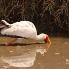 Yellow-billed stork, wood stork or wood ibis