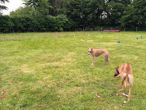 Photo: Flora and Annabel Whippet dropping rose petals around the training area...