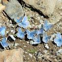Boisduval's Blue