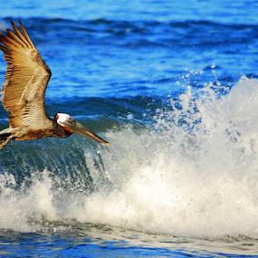 Pelican hunt by Sandeep Kochar - Animals Birds ( bird, hunt, pelican )