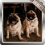 Pug Dog Live Wallpaper