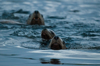 Photo: Sea lions at Shearwater