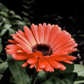 Color  by Claudio de Freitas Photography - Flowers Single Flower ( mobilography, orange flower, london, color, mobile photos, claudidefreitasphotography, note4, samsung, flower, photooftheday, photoshop,  )