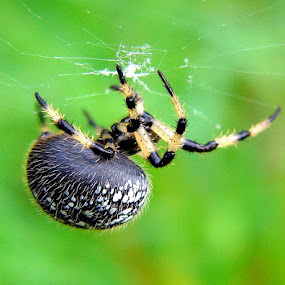 Shamrock Orb Weaver by Carol Milne - Animals Insects & Spiders