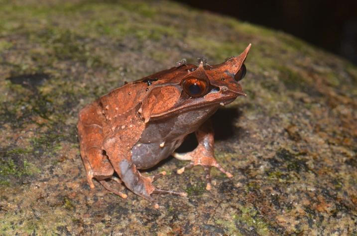 Image result for malayan horned frog eating
