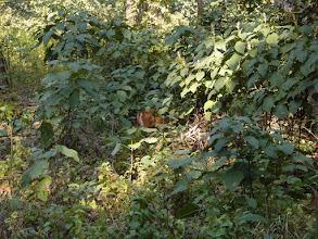 Photo: A young sambar deer almost hidden from view