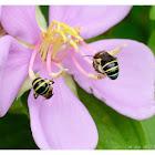 Nomia sp. 彩帶蜂