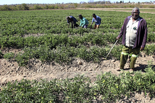 Mbhazima Makhubele grows various vegetables without government support. /ANTONIO MUCHAVE