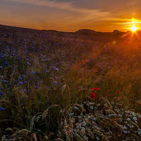 Sitting in the morning sun by Lizzy MacGregor Crongeyer - Landscapes Sunsets & Sunrises ( orange, cornflowers, purple, coulours, grass, green, white, daisies, sun flares, field, red, dawn, nature, summer, poppies, sunrise, flowers, early, , #GARYFONGDRAMATICLIGHT, #WTFBOBDAVIS )