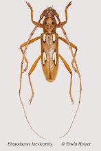 Photo: Eburodacrys laevicornis, 15 mm, Costa Rica, La Cruz (11°07´/-83°36´), leg. Erwin Holzer, det. Herbert Schmid
