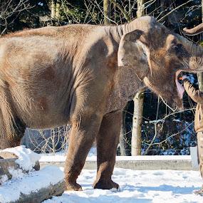 Feeding elephant by Boris Podlipnik - Animals Other ( mammals, winter, zoo, elephant, snow, animal )