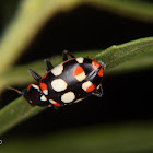 Eriopis ladybird