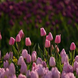 Tulip Festival by Arda Erlik - Flowers Flower Gardens ( sony, tulip, arda erlik, festival, istanbul, turkey, garden, flower )