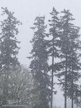 Photo: Trees in Snow
