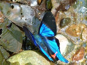 Photo: PINK-C BEAUTYMARK (DYSON'S SWORDTAIL) -rhetus dysonii--RIO PINGULLO--A MOST WANTED SPECIES!!