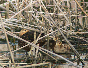 Photo: Mottled Duck mother and ducklings, Anahuac National Wildlife Refuge, East Texas