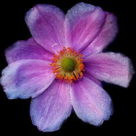 Anémone japonicus n000151 by Gérard CHATENET - Flowers Single Flower