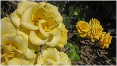 Photo: Trandafir (Rosa)  - din Turda, Str. Salinelor, Nr.15 - 2019.06.30