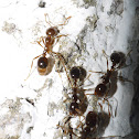 Nocturnal Ants