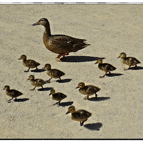 Duck Family by Nancy Young - Animals Birds ( babies, ducks, birds, animal,  )