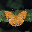 Oriental Common Maplet