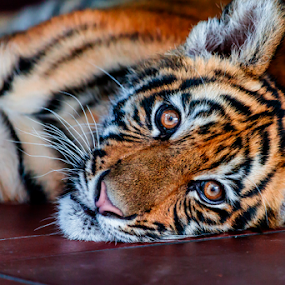 Tiger Cub by Ray Shiu - Animals Lions, Tigers & Big Cats ( wild, orange, cat, tiger, fauna, malayan, white, wildlife, siberian, exotic, bengal, mammal, asian, carnivore, jungle, striped, sumatran, feline, black, animal,  )