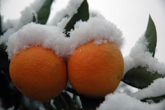 Photo: oranges in snow
