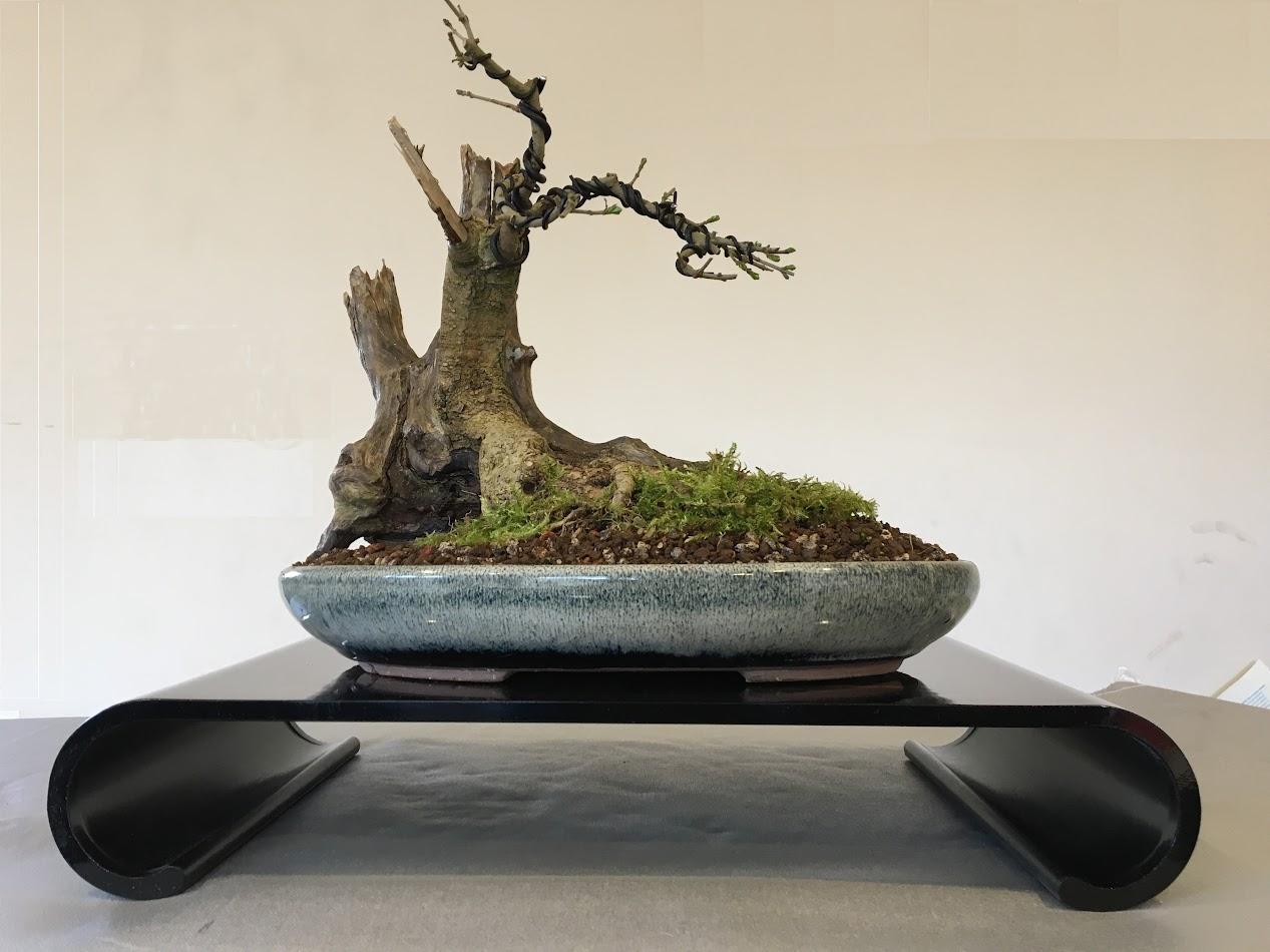 Aj Bonsai Tree Worth Bonsai Tree