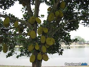 Photo: Jack fruits in Tetulia