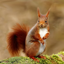 Europeen Red squirrel by Gérard CHATENET - Animals Other Mammals