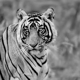 Portrait of a tiger by Pravine Chester - Black & White Animals ( big cats, animals, photograph, monochrome, tiger, black and white, portrait )
