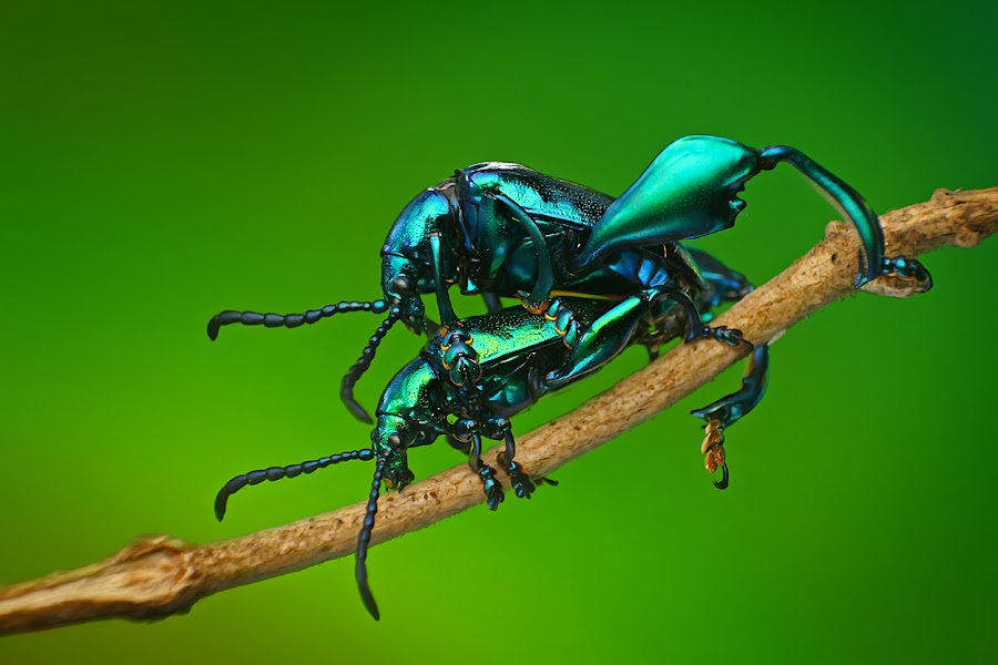 exotic of love by Dhimas Prastowo - Animals Insects & Spiders ( #jewelfrogbeetle, #insect, #macro, #bugs, beetle,  )