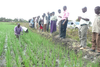 Photo: Testing Mwea weeder in another field. [Photo Courtesy of Bancy Mati]