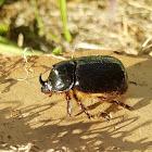 Southern Australian Rhinoceros beetle