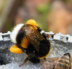 Photo: Bourdon terrestre au repas des abeilles