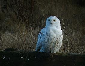 Photo: Snowy Owl, from the Boundary Bay dyke, SW B.C.