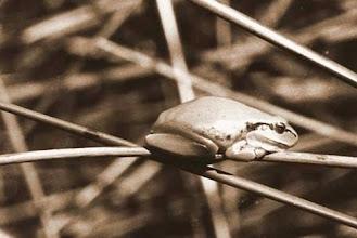 Photo: Composition sur une grenouille camarguaise - 1972 -