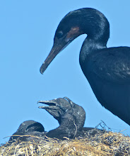 """Photo: 131. We floated past a large grouping of nesting cormorants ... I set my camera to continuous shutter release and fired away. I filled up a 16 gigabyte card during the hour and a half. Yikes ... that's a lot of photos! I don't know if these babies could exactly be described as """"cute"""" - maybe they're adorable enough to their parents and I guess that's all that matters."""