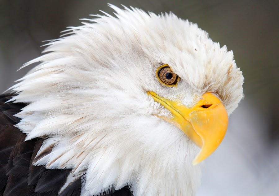 by Brandi Nichols - Animals Birds ( bird, eagle, nature, bald eagle, wildlife, raptor, birds )