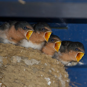 Feed Me by John Dutton - Animals Birds ( swallow, chicks )