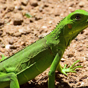 Green with envy! by Michelle Bergeson - Animals Reptiles ( lizard, green, brown, reptile, eye,  )