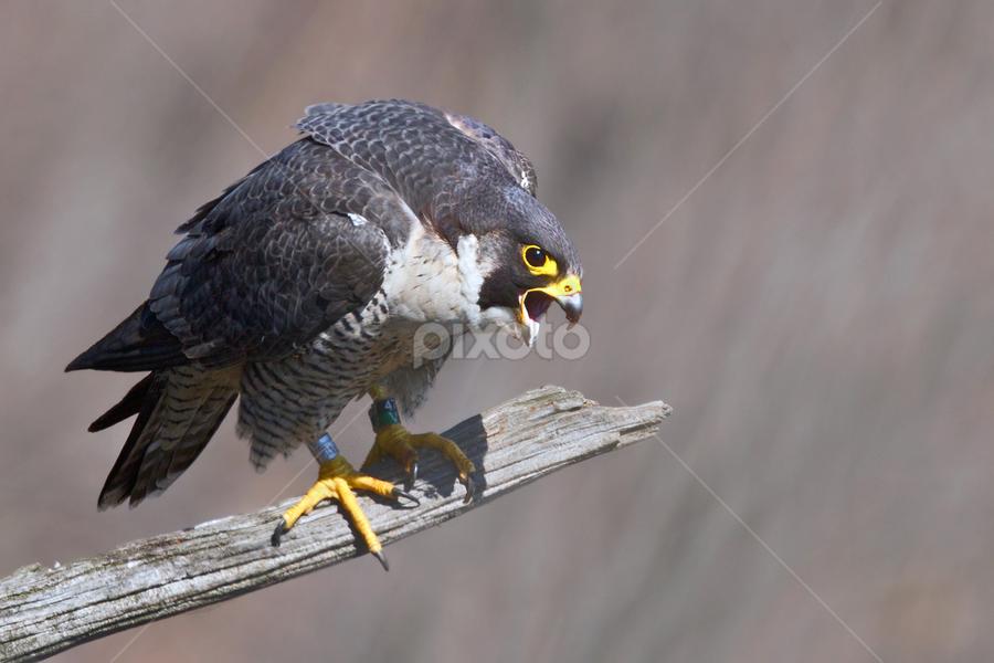 Peregrine Falcon by Herb Houghton - Animals Birds ( wild, endangered species, bird of prey, falcon, herbhoughton.com, raptor, peregrine, hawk )