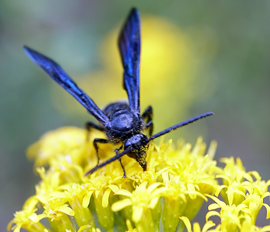 Pollination by Ashley Ellis - Animals Insects & Spiders ( up close, wing, wasp, bee, yellow, pollination, amazing, macro, pollen, blue, eating, flowers, flower,  )