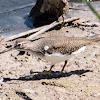 Common Sandpiper; Andarríos Chico