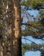 Photo: Active Pileated Woodpecker nest, shot from a distance