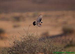 Photo: Monachella del deserto | Oenanthe deserti | Desert Wheatear