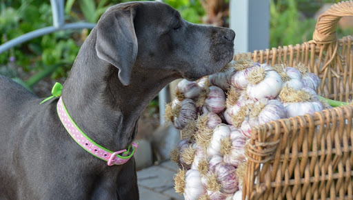 Can Dogs Eat Garlic? Is Garlic Safe For Dogs?