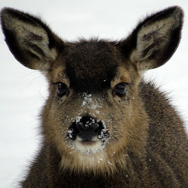 BABY FACE by Cynthia Dodd - Novices Only Wildlife ( animals, winter, nature, cold, beautiful, snow, wildlife, innocence, doe, deer )